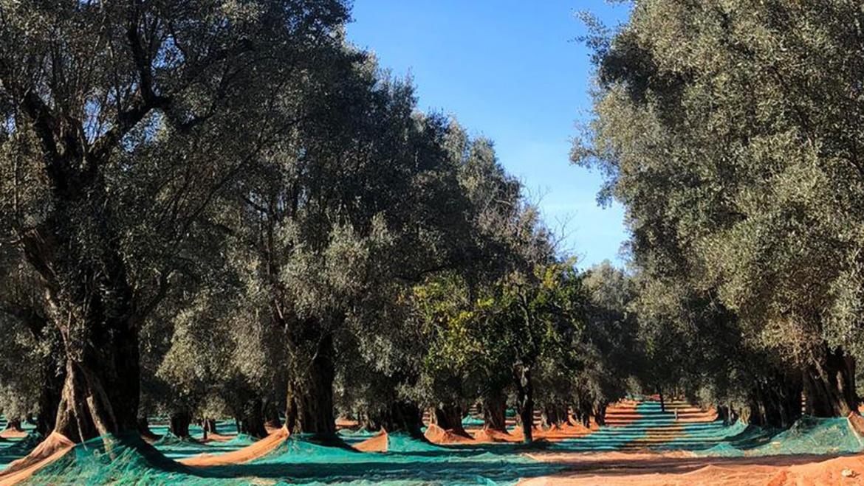 Caratteristiche dell'olio di oliva
